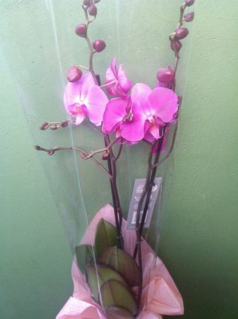 Phalenopsis Orchidea (cserepes növény)